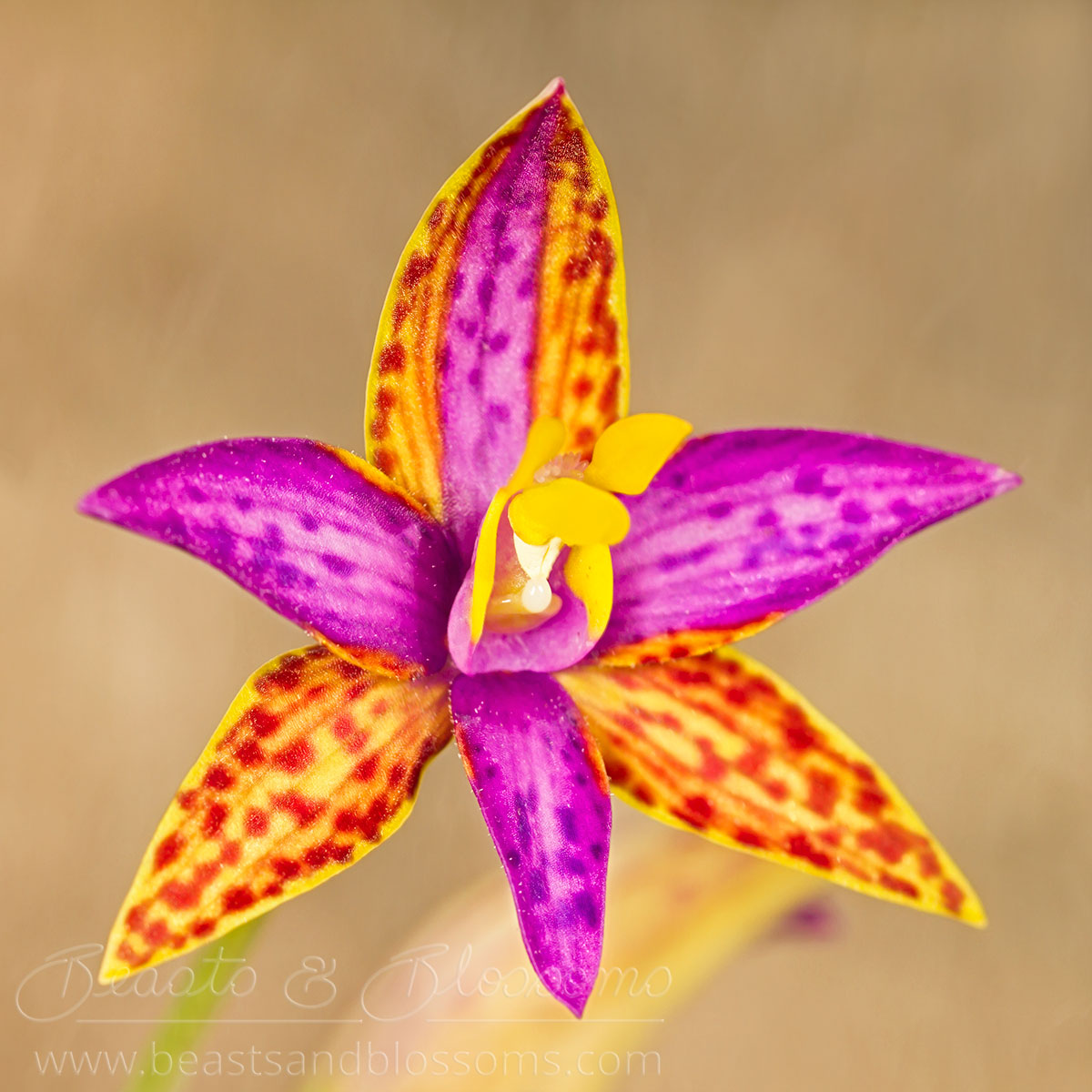 South west WA wildflower: northern Queen of Sheba orchid (Thelymitra pulcherrima), Near Threatened (Priority 2) flora