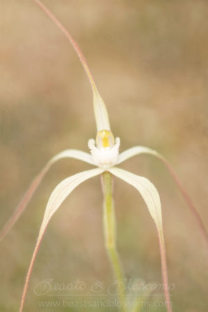 South west WA wildflower: alba version of a western wispy spider orchid (Caladenia microchila var. alba)