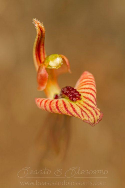 South west WA wildflower: zebra orchid (Caladenia cairnsiana)