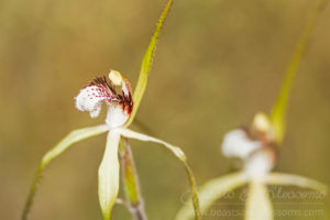South west WA wildflower: northern darting spider orchid (Caladenia uliginosa candicans)