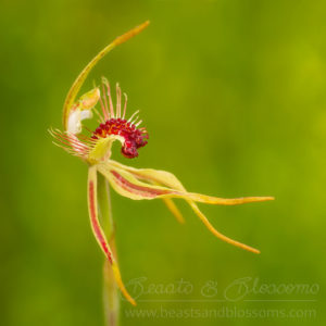 South west WA wildflower: club-lipped spider orchid (Caladenia corynephora)