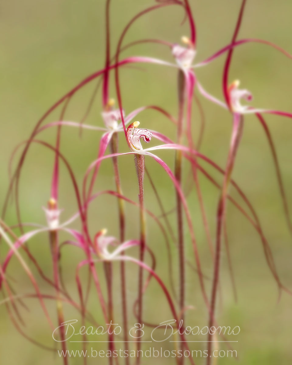 South west WA wildflower: Moora spider orchid (Caladenia exilis vanleeuwenii)