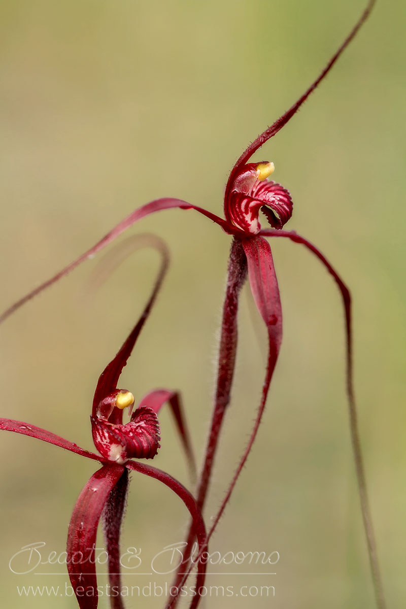 South west WA wildflower: blood spider orchids (Caladenia filifera)