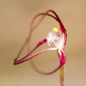 South west WA wildflower: ruby spider orchid (Caladenia occidentalis)