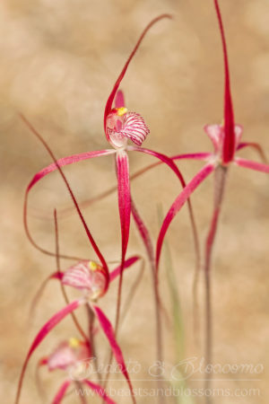 South west WA wildflower: crimson spider orchids (Caladenia footeana)