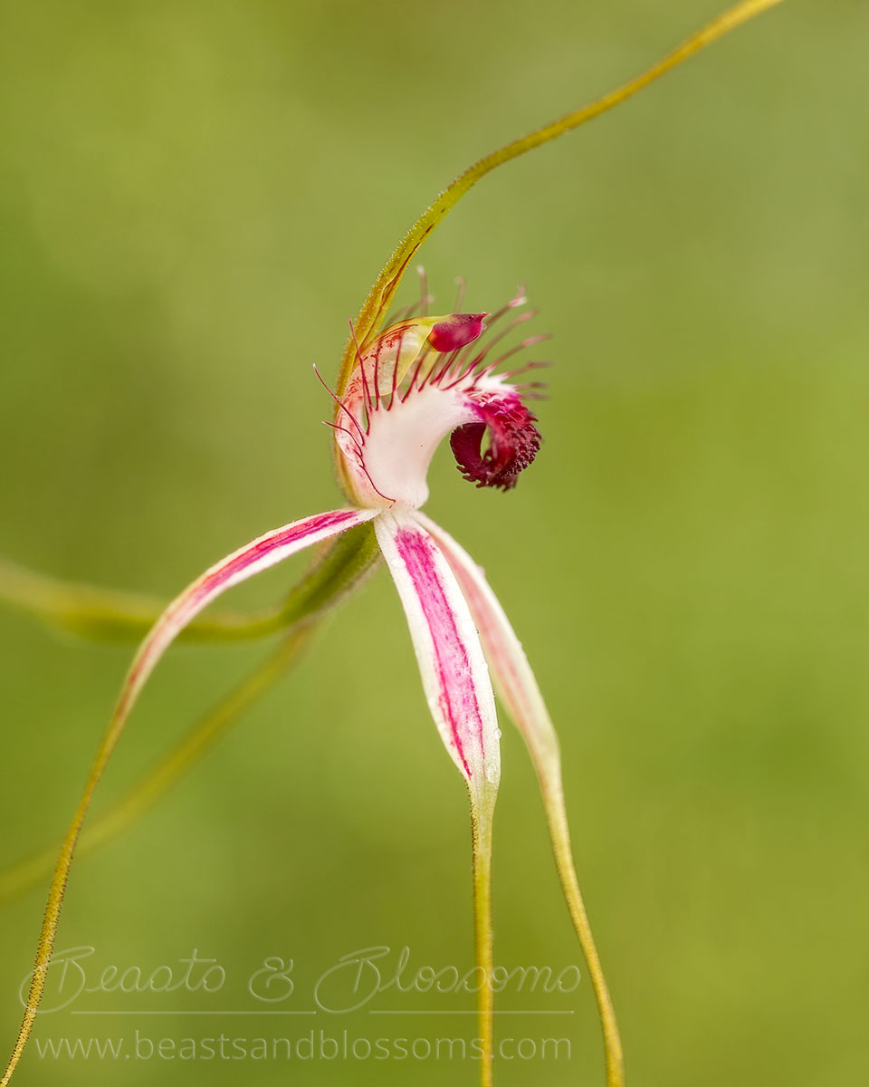 South west WA wildflower: blushing spider orchid (Caladenia lorea)