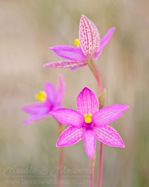 South west WA wildflower: eastern curly locks orchid (Thelymitra maculata)