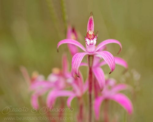 South west WA wildflower: pink candy orchid (Caladenia hirta rosea)