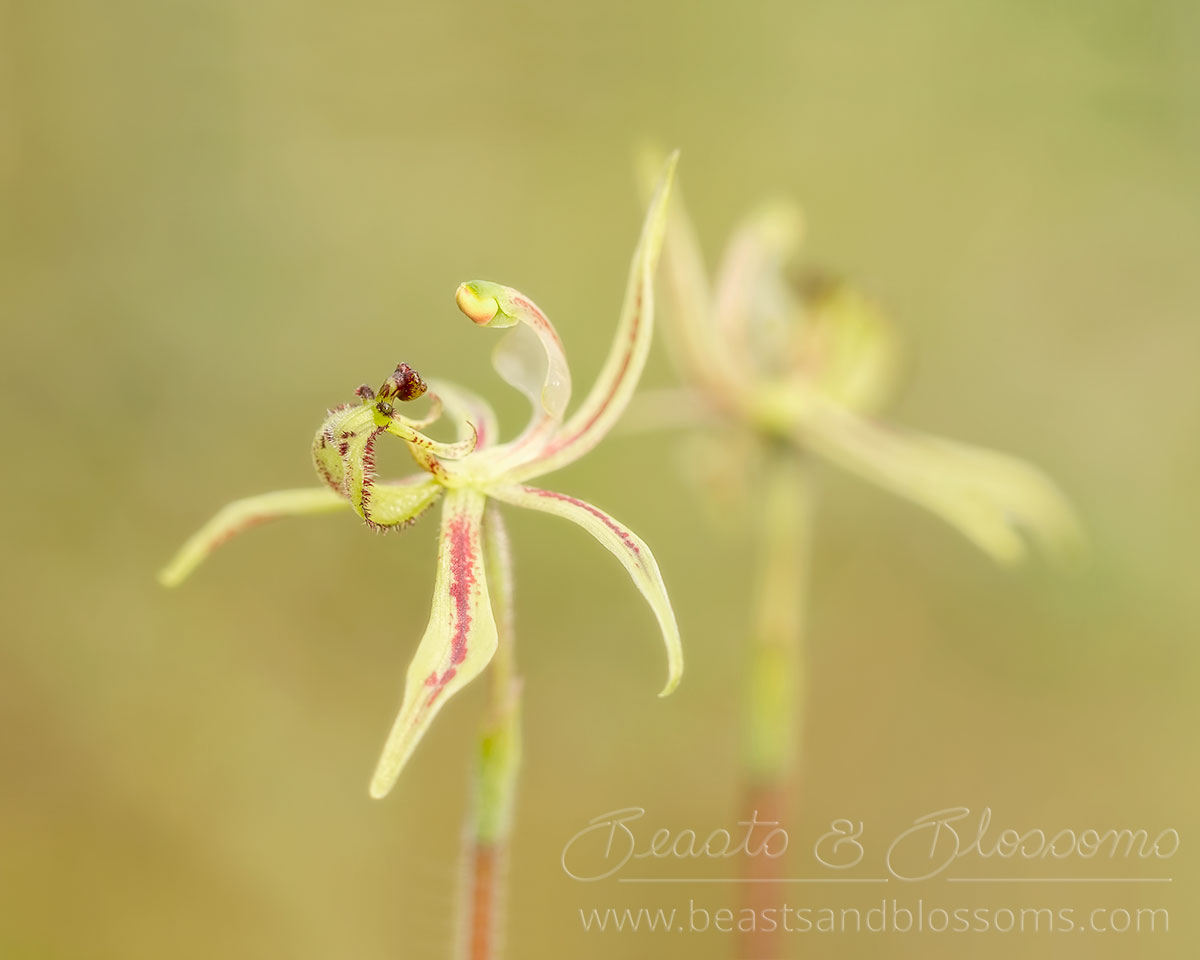 South west WA wildflower: narrow-lipped dragon orchid (Caladenia mesocera)
