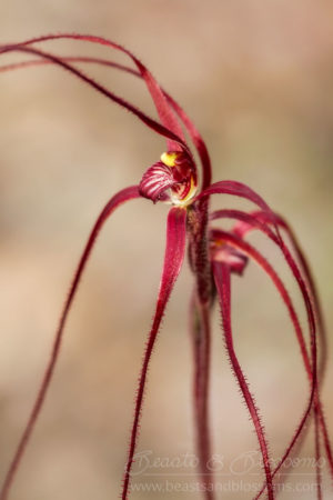 South west WA wildflower: Lake Muir blood spider orchid (Caladenia erythrochila), Near Threatened (Priority 2) flora