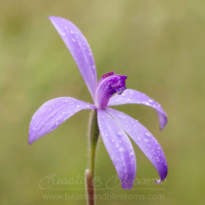 South west WA wildflower: silky blue orchid (Cyanicula sericea)