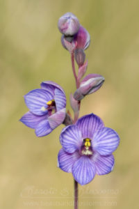 South west WA: shirt orchid (Thelymitra campanulata)