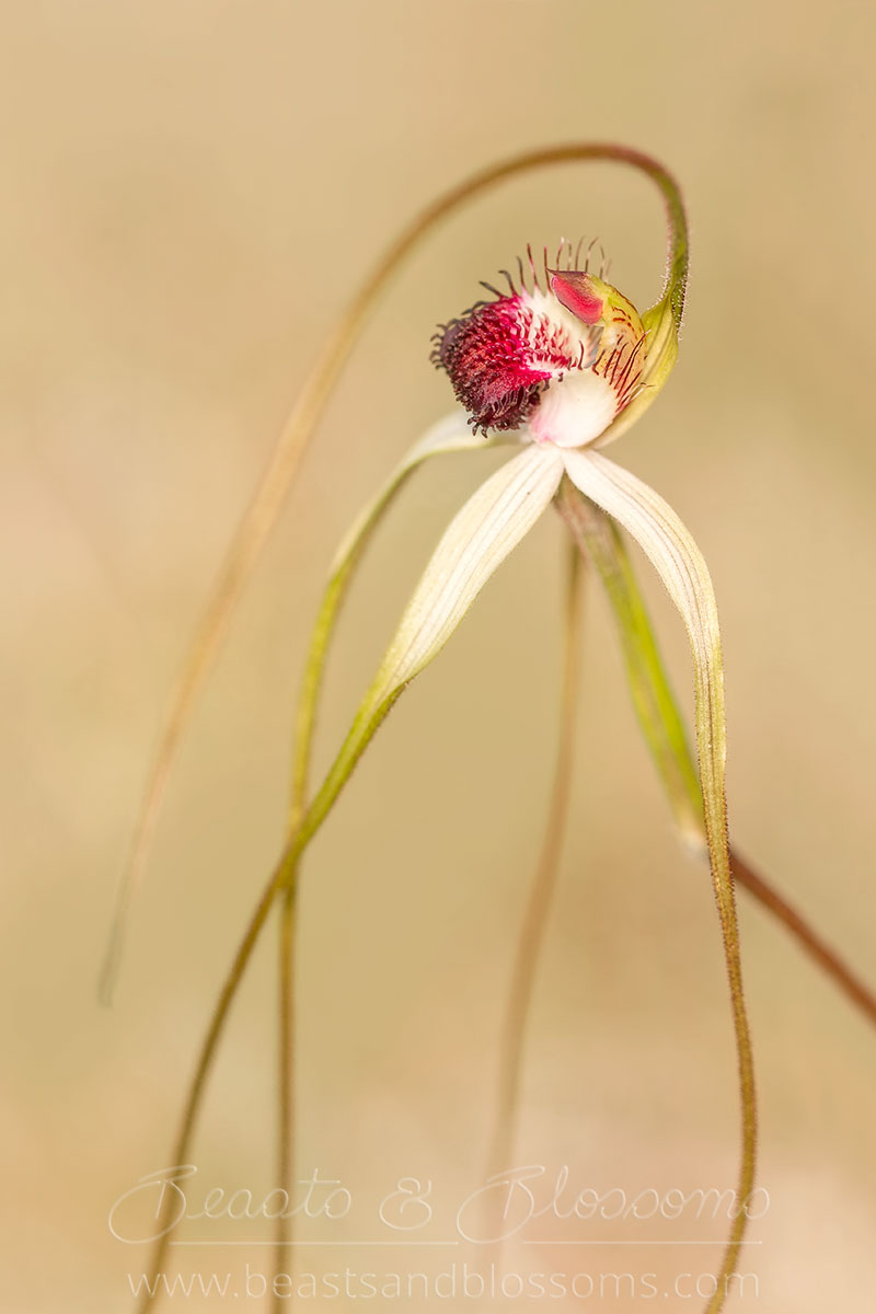 South west WA wildflower: giant spider orchid (Caladenia excelsa), threatened (Endangered) flora