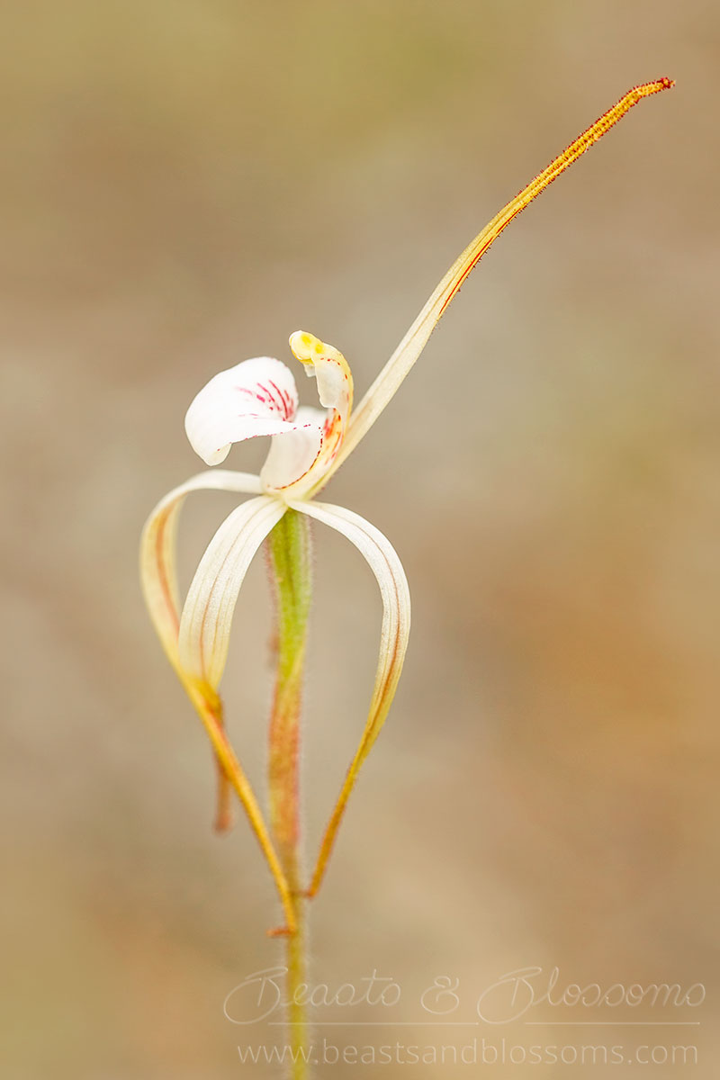 South west WA wildflower: Cossack spider orchid (Caladenia dorrienii), threatened (Endangered) flora