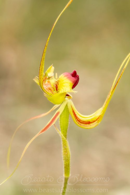 South west WA wildflower: butterfly orchid (Caladenia lobata)