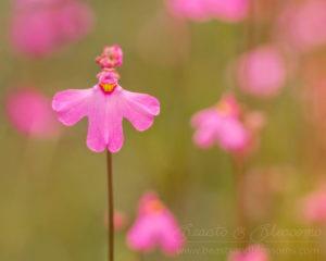 South west WA wildflowers: pink petticoats (Utricularia multifida; carnivorous bladderwort)