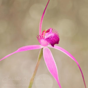 South west WA wildflower: majestic spider orchid (Caladenia winfieldii), threatened (Endangered) flora