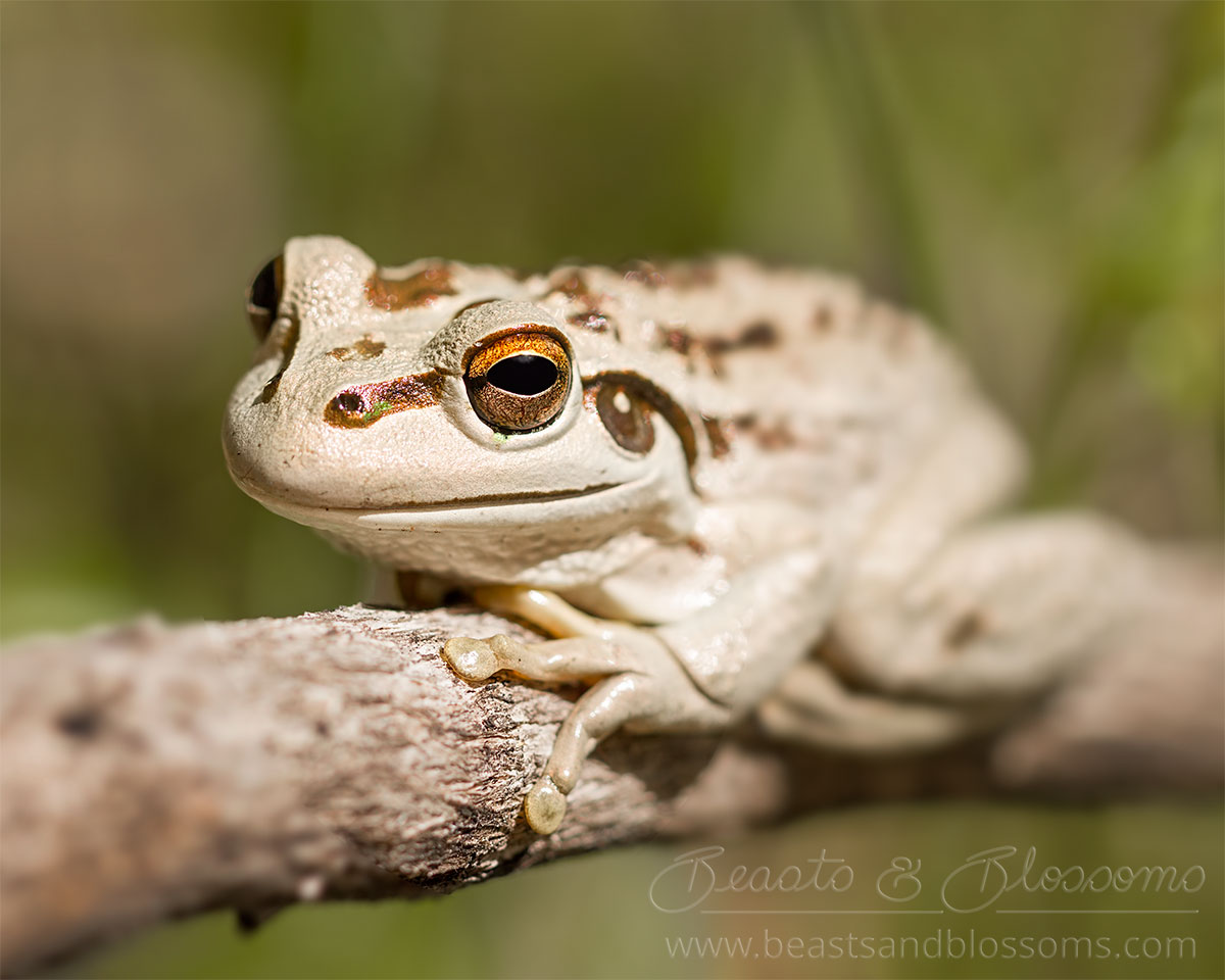 South west WA wildlife: motorbike frog (Litoria moorei)