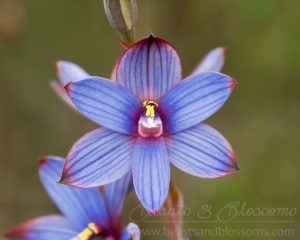 South west WA wildflower: blue sun orchid (Thelymitra canaliculata)