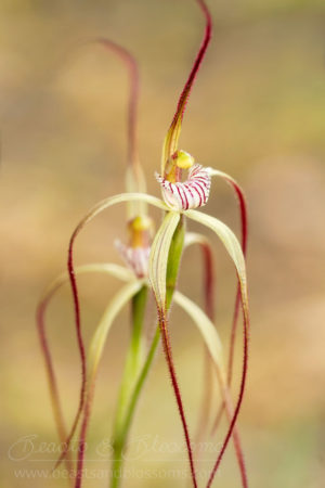 South west WA wildflower: late spider orchid (Caladenia ultima), Near Threatened (Priority 2) flora