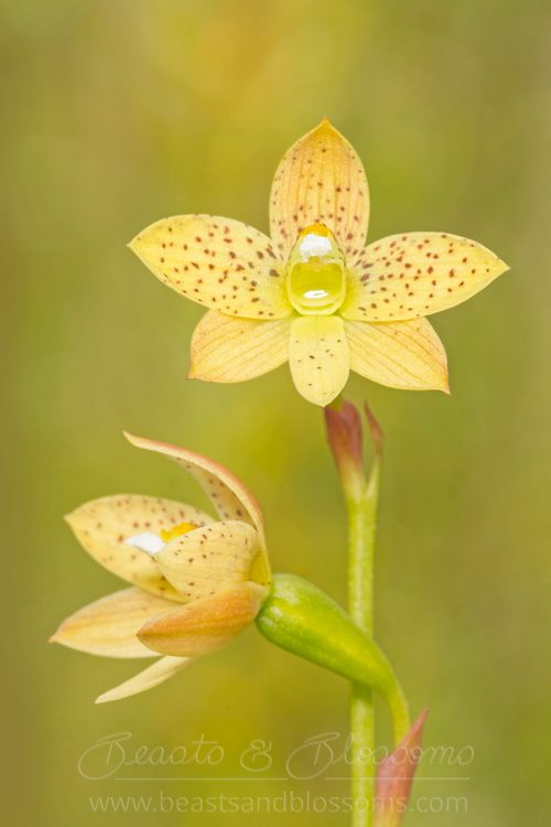 South west WA wildflower: tiger sun orchid (Thelymitra tigrina)