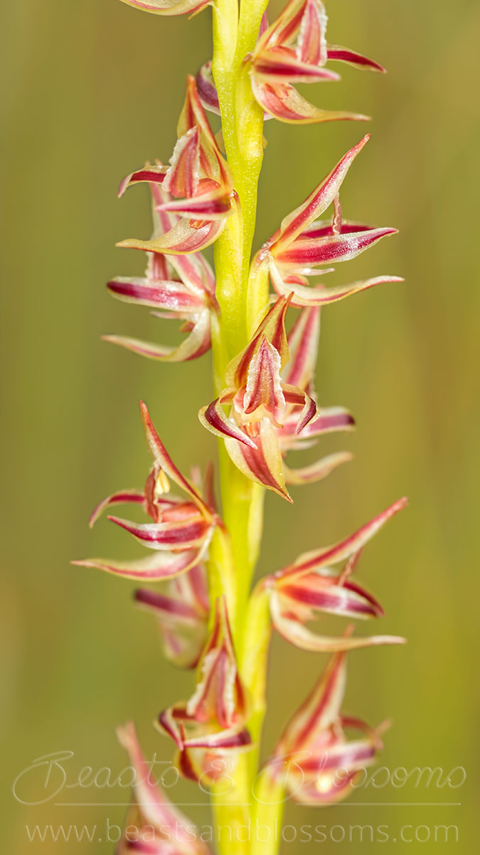 South west WA wildflower: swamp leek orchid (Prasophyllum drummondii)