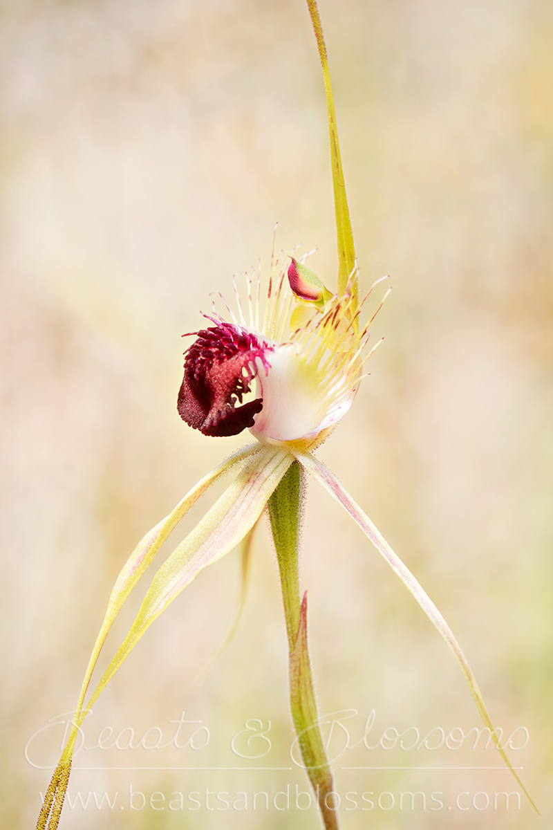 Grand spider orchid (Caladenia huegelii), threatened (Critically Endangered) flora