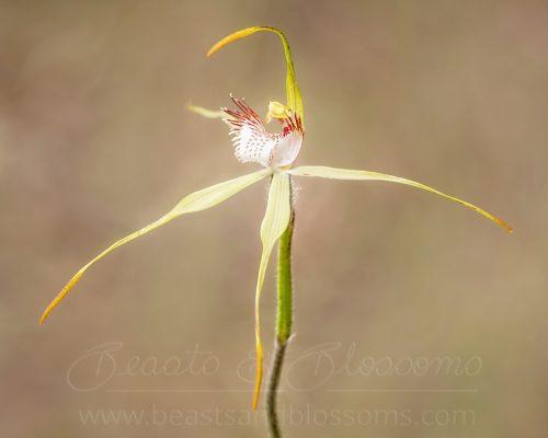Collie spider orchid (Caladenia leucochila), threatened (Endangered) flora