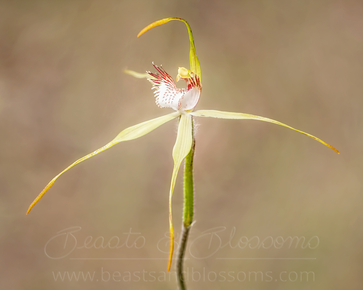 Collie spider orchid (Caladenia leucochila), threatened (Endangered) flora
