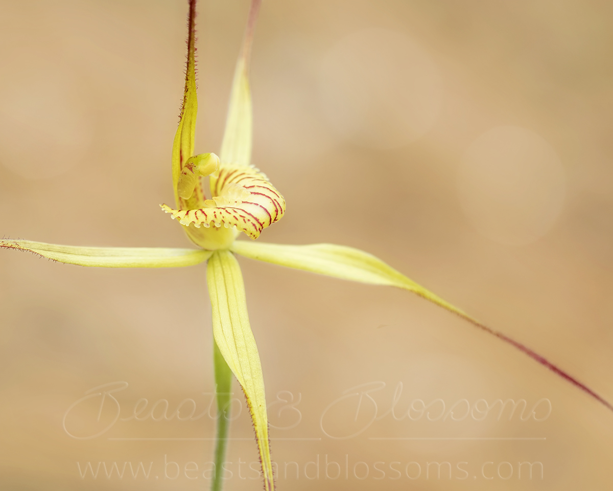 Lemon spider orchid (Caladenia luteola), threatened (Critically Endangered) flora