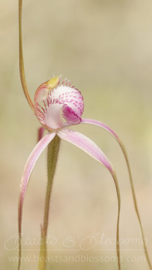 Start's spider orchid (Caladenia startiorum), Near Threatened (Priority 2) flora